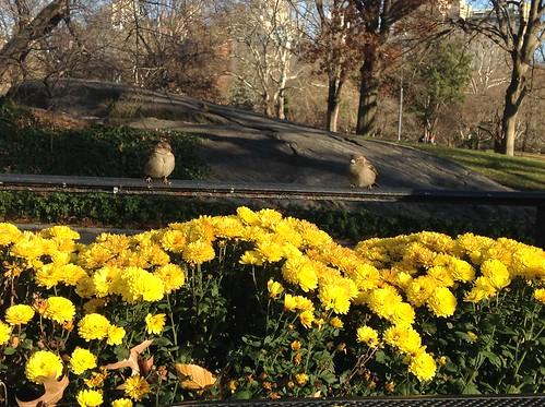 Gråspurve i Central Park