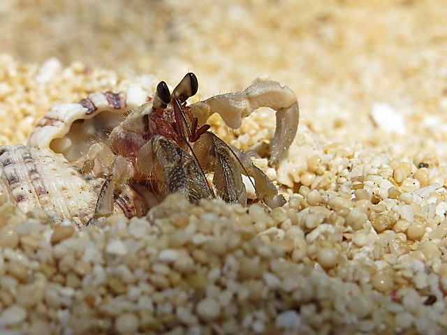Camouflaging hermit crab. Photographed by Bernard Eirrol Tugade