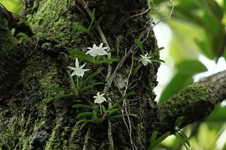 Angraecum cucullatum