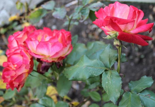 Dark Blue Skirt & Sunset Pink Roses - OOTD 1/3/2014