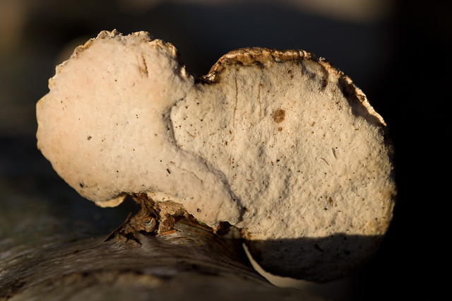 34: Birch Polypore