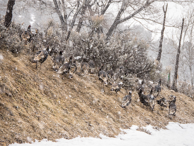 wild turkeys in the snow