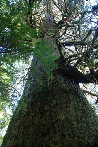 Harris Creek Spruce near Port Renfrew, South Vancouver Island, British Columbia, Canada