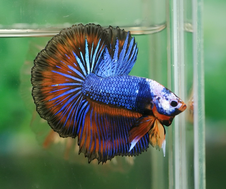 Looking for female dt dragon for Dragon scale betta fish
