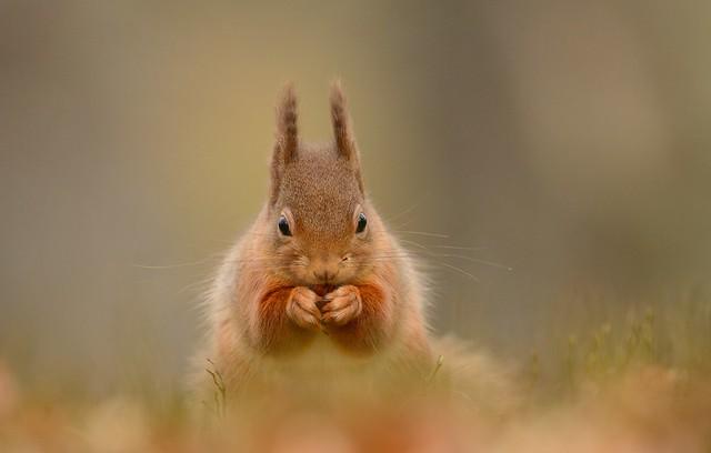 Benjamin Joseph Andrew - Red Squirrel