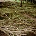 Bululavata - rambutan tree roots