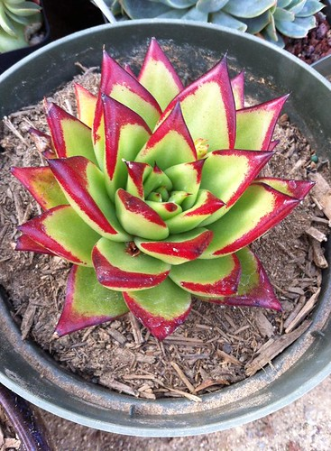 Echeveria Agavoides Red Edge by Nievesgirl