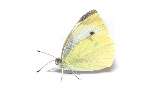 <p><i>Pieris rapae rapae</i>, Pieridae<br /> Simon Fraser University, Burnaby, British Columbia, Canada<br /> Nikon D5100, 105 mm f/2.8<br /> February 16, 2014</p>