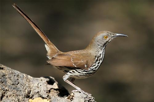 texas mission thrasher longbilledthrasher toxostomalongirostre missiontexas nickdean thewonderfulworldofbirds nationalbutterflycenter nickdean1