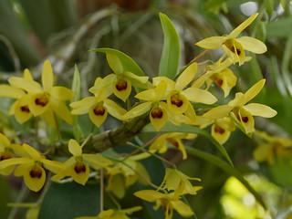 Dendrobium friedricksianum