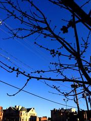 Tree Buds Blue Sky Baltimore