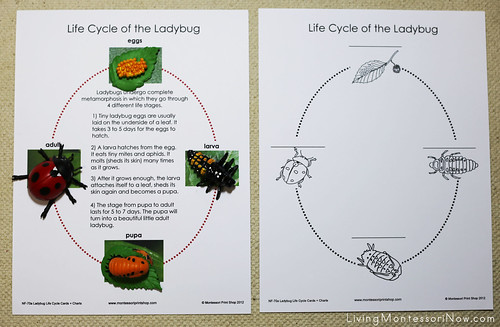 Life Cycle of a Ladybug Layout