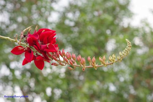 Hoa vông kê - bô-kê(bokeh)