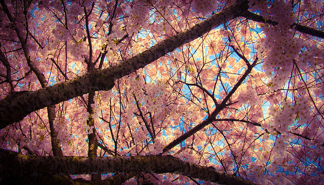 the Texture of Spring: Cherry Blossoms