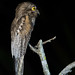 Northern Potoo por reptileexperts
