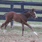HIGH MOMENT/TAPIZAR COLT FOALED 3/16 AT DARK HOLLOW FARM. OWNED AND BRED BY DORSEY BROWN AND RICHARD PALMER. MARE BACK TO TRAPPE SHOT.