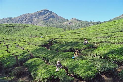 india tea kerala inde thé dalbera plantationdethé cueilletteduthé