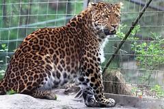 Chinesischer Leopard 2014_04_05