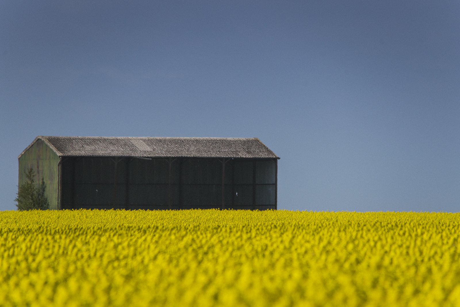 A barn stands on a ridge above oil seed rape