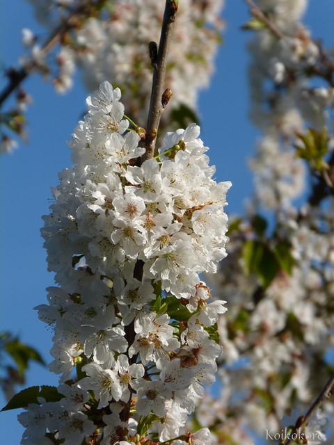 fleurs de cerisiers...