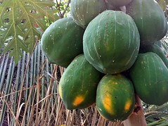 Ripe papaya fruit on the tree
