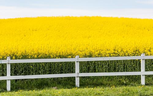 flowers yellow fence skåne spring sweden rape bara canola rapeseed 2014 skånecounty