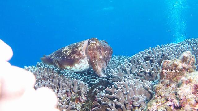 卵を産む直前のコブシメのメス