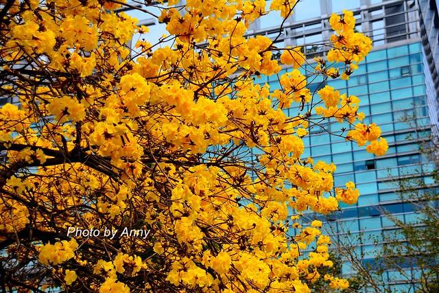 黃風鈴木12