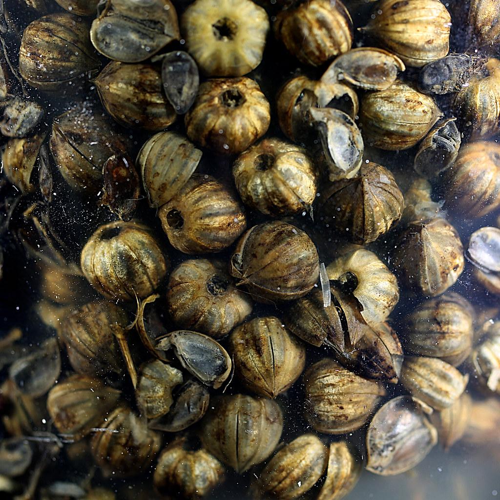 Flax capsules