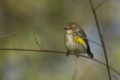 Yellow-rumped Warbler - yrwa