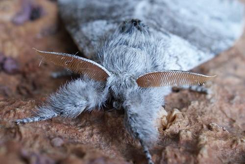 Pale Tussock (Calliteara pudibunda)