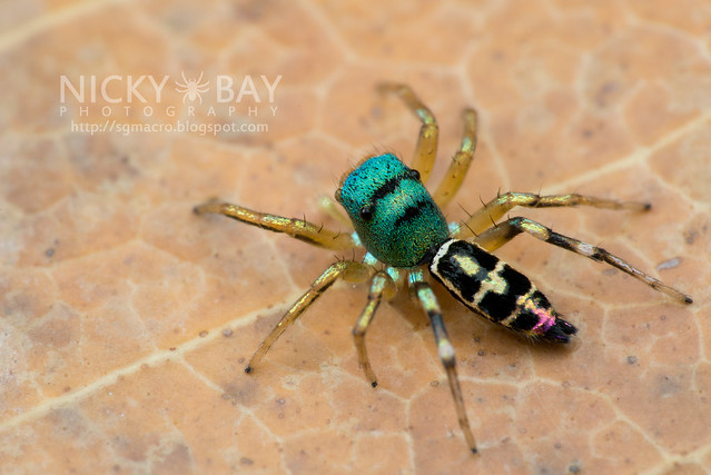 Jumping Spider (Salticidae) - DSC_4572