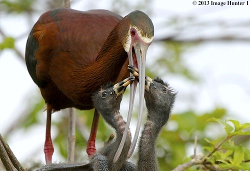 White-faced Ibis Chicks & Mother - Miller's Lake, Louisiana