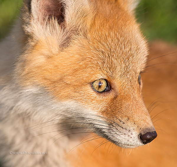 Blog Size - Red Fox Kit Closeup