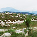 Sheep in Italy by calimerise