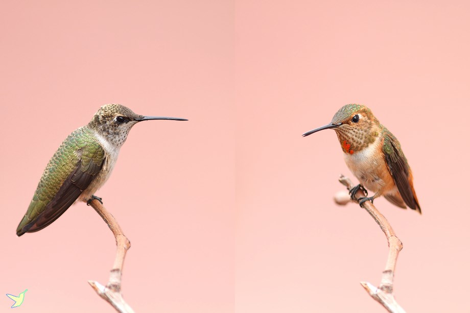 immature male Black Chinned & Allan's Hummingbird 082613