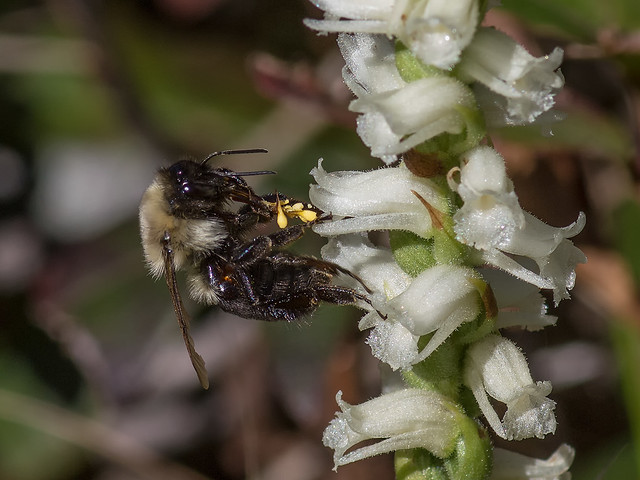 Orchid pollinator loaded with pollinia