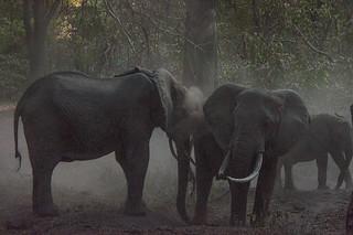 Backlit Dusty Elephants