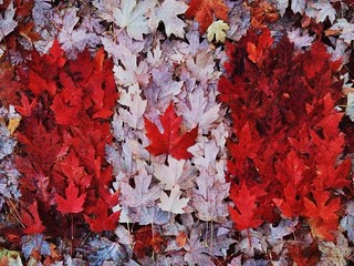 Real Canadian Maple Leaf Flag
