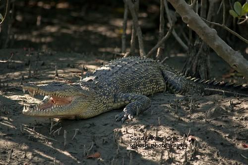 Sundarbans Croc