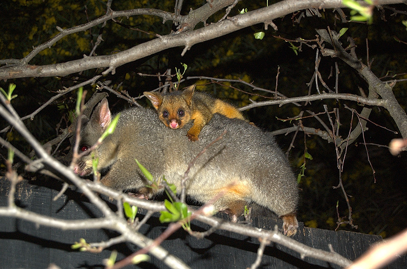 possums_mother_and_child-10