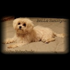 BeLLa is patiently waiting for her spa day coming up on Friday. #Maltese #MalteseLovers #maltipoosofinstagram #Poodle #PuppyLove #Petstagram #pet #pets #puppygram #instapup #iflmdog #instapuppy #icanimals #ILoveMyDog #instadog #love #lhasa #lhasapoo #FoLL