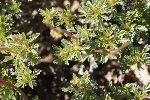 Pelargonium sericifolium, leaves