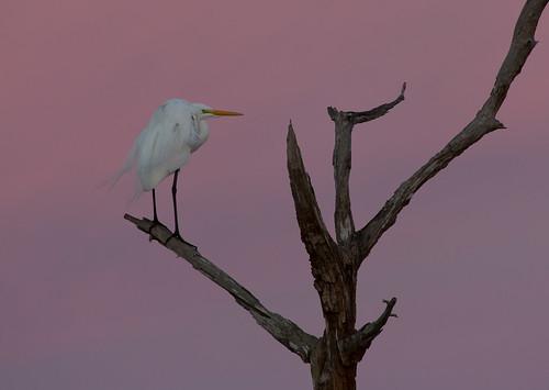 bird birds animals sunrise dawn florida greategret ardeaalba avain floridabirds birdphoto vierawetlands