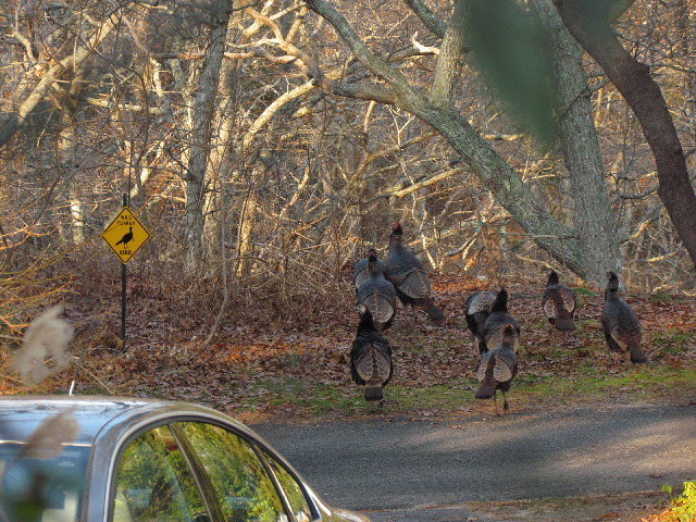 Turkeys Crossing1 12:26:11