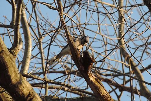 #43 Blue Jay (Cyanocitta cristata)