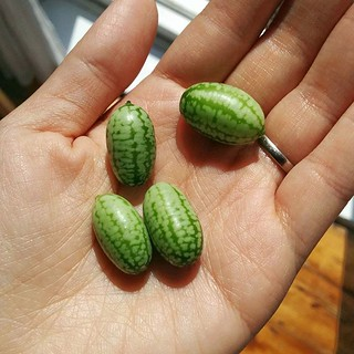 First harvest: 1 cucamelon. Second: 2. Today: 4. I see where this is going.