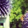 #bee on the globe thistle #suckitMonsanto