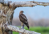 Red-tailed Hawk (X72_4493-1)