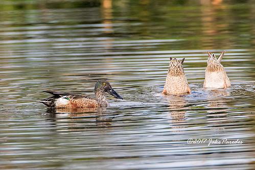 evergladesphotographicsociety birdwatcher northernshoveler peacefulwaters